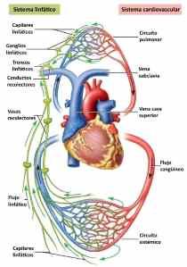 circulacion linfatica